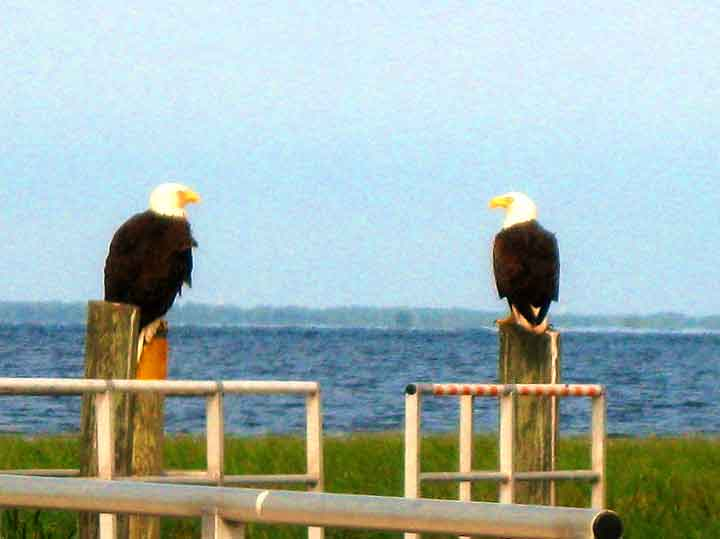 Kissimmee Swamp Tours Bald Eagles