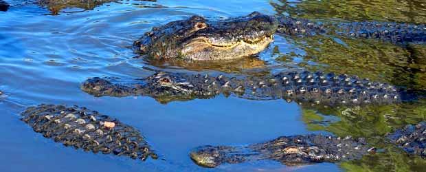 Kissimmee Swamp Tours Gator