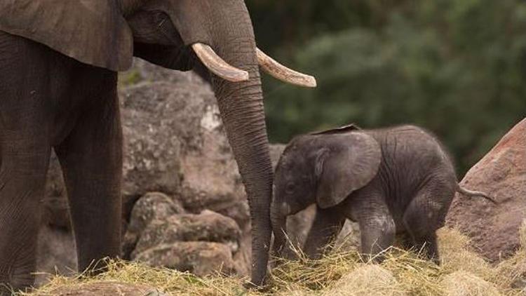 Walt Disney Animal Kingdom Baby Elephant