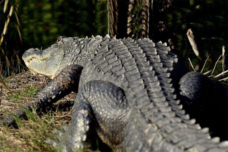 Wild Florida Gator