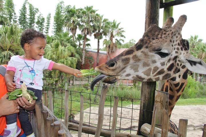 tampa_zoo_giraffe