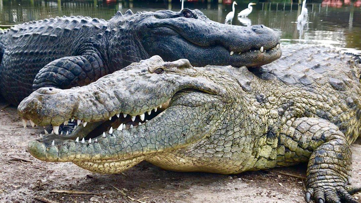 Gatorland Duo