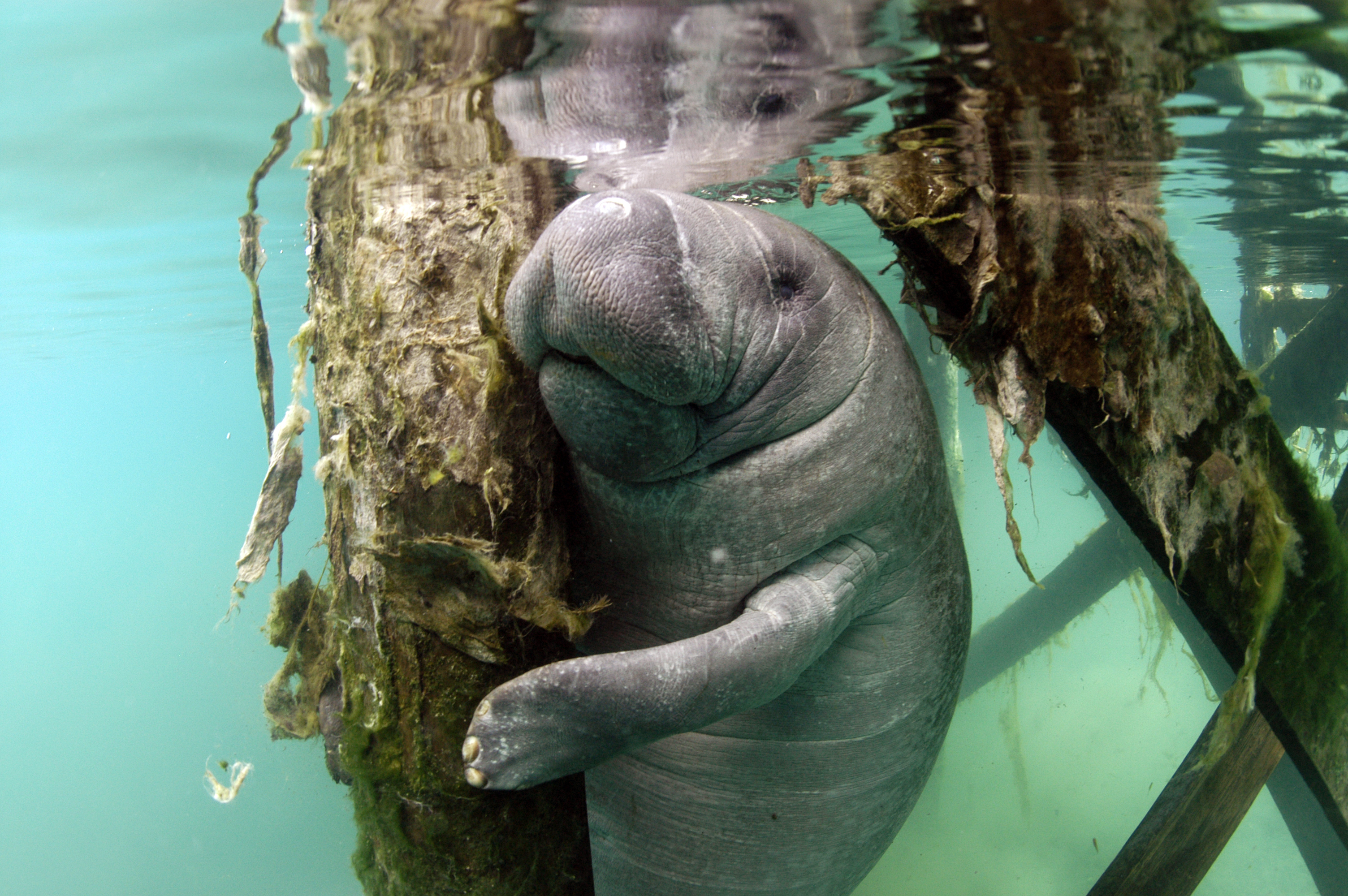 Manatees Have Arrived