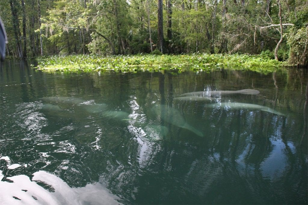 Manatees at Silver River. Photo credit: Nicole Barlett, CMA Research Assistant.