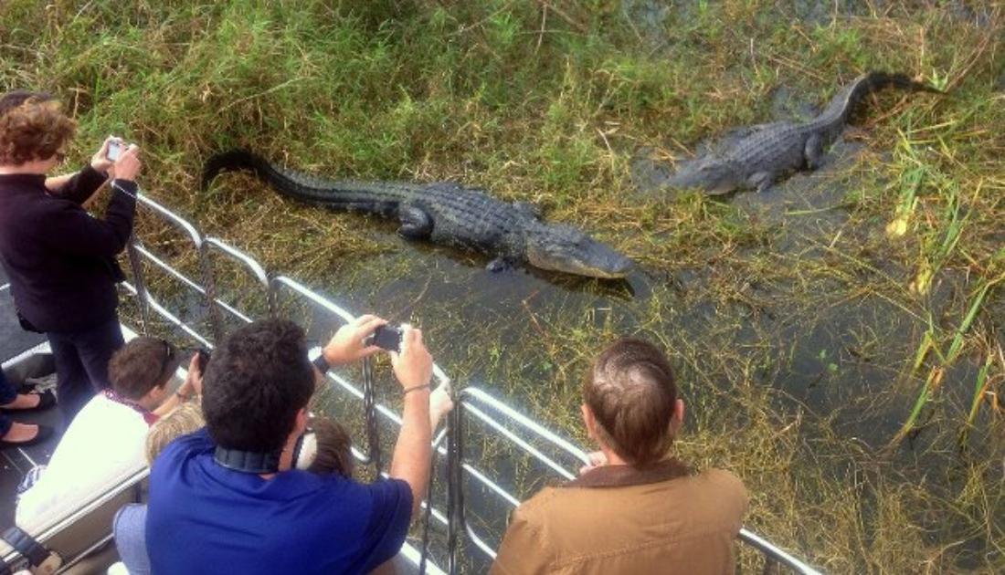 Featured Wild Florida gators