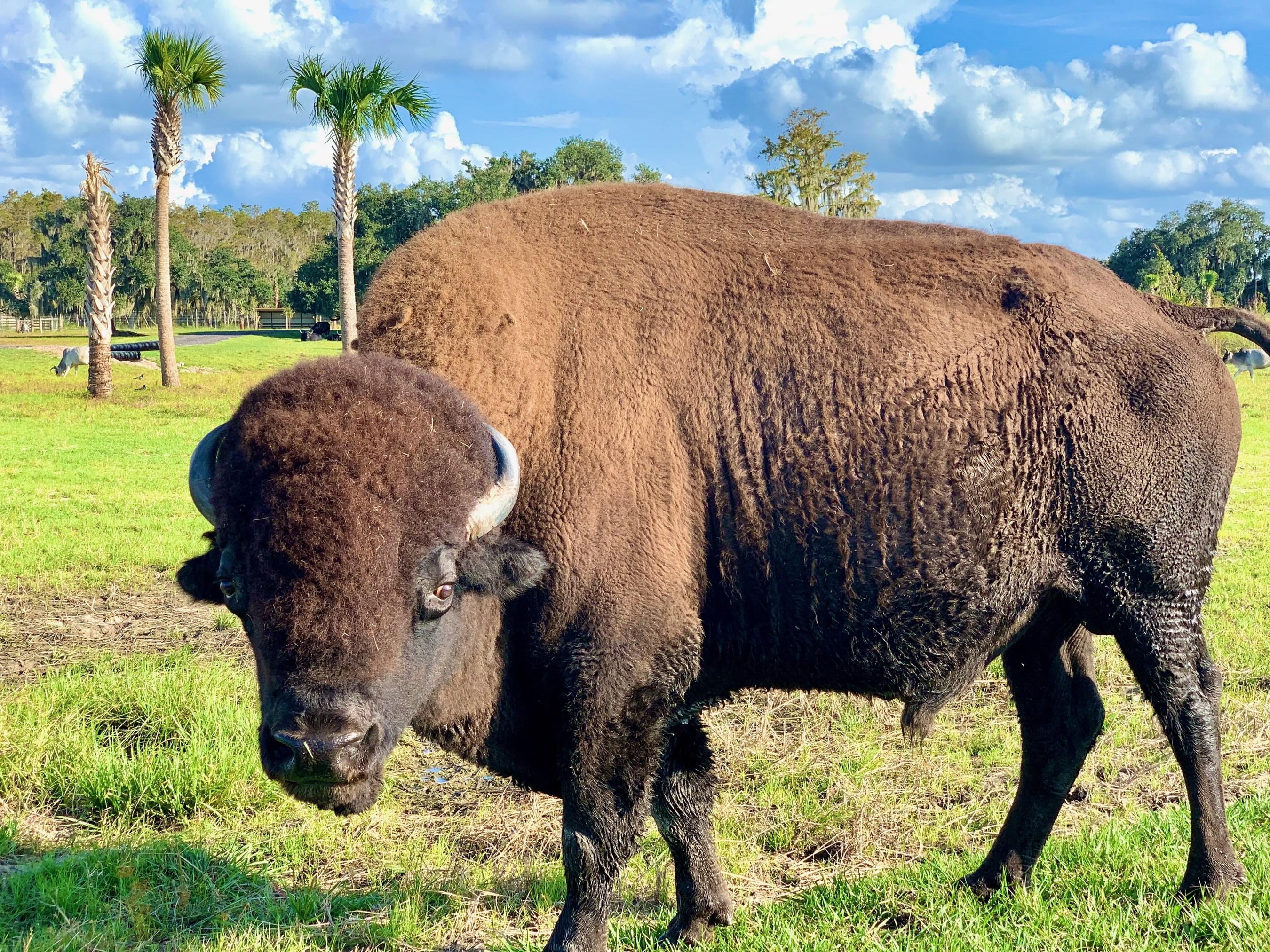 Wild Florida Bison