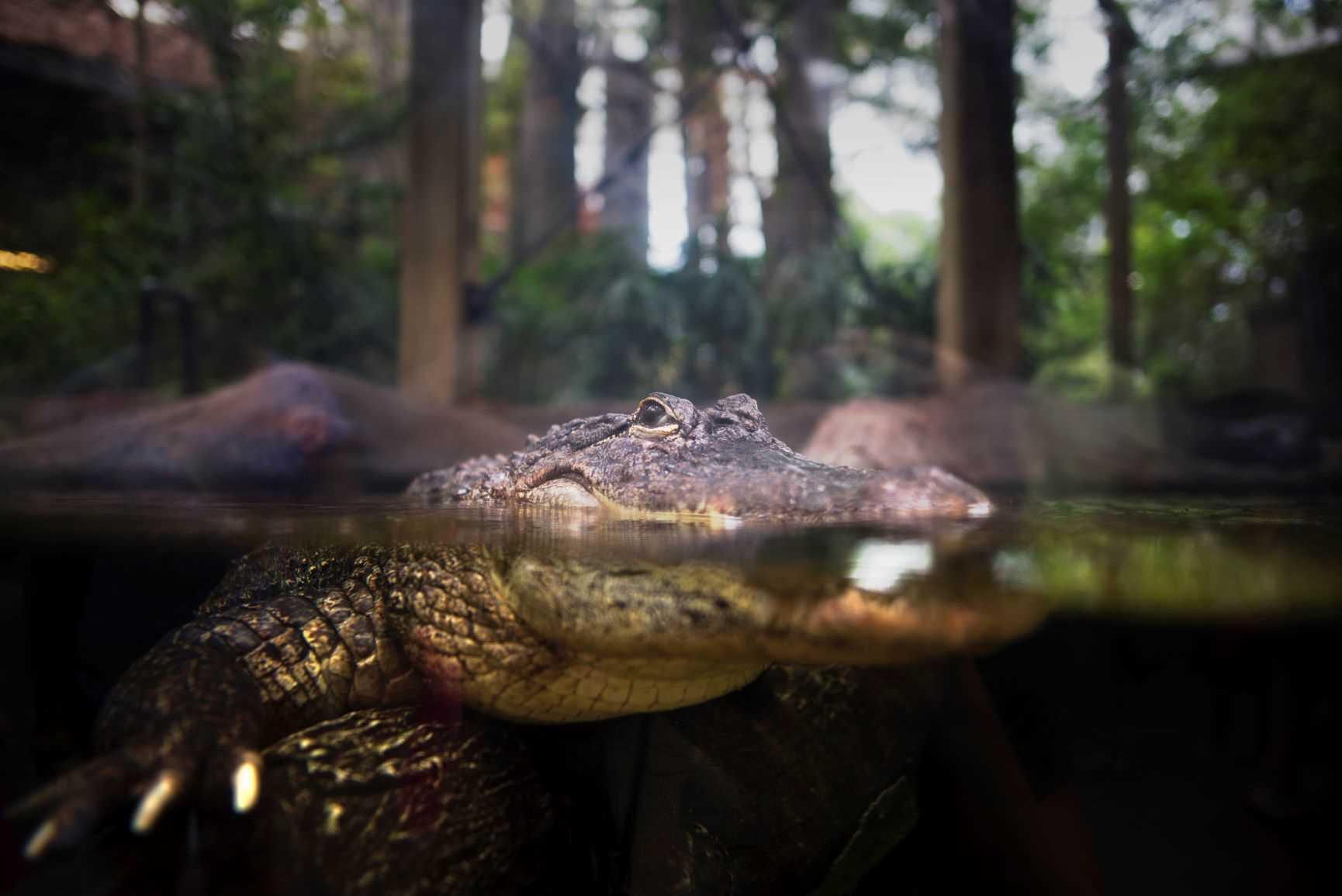 Florida Aquarium Gator
