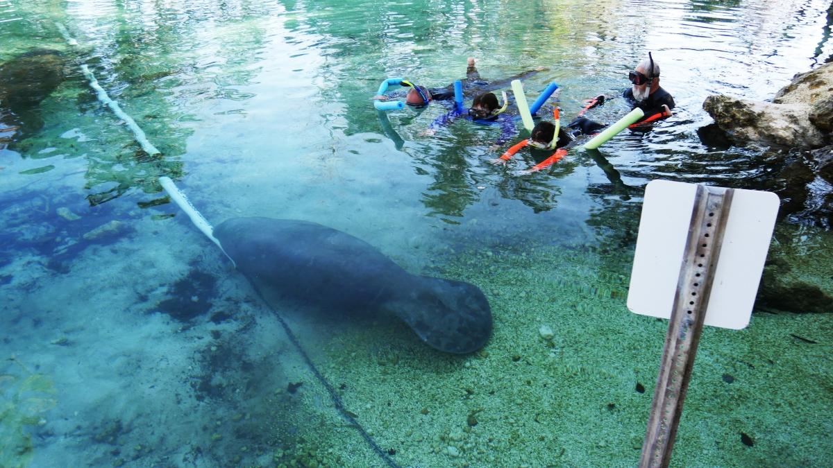 Swim with a manatee