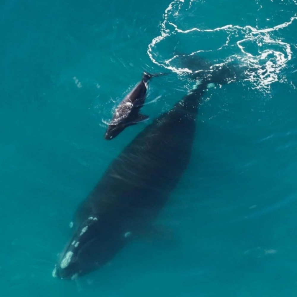 CMA Right Whale and calf
