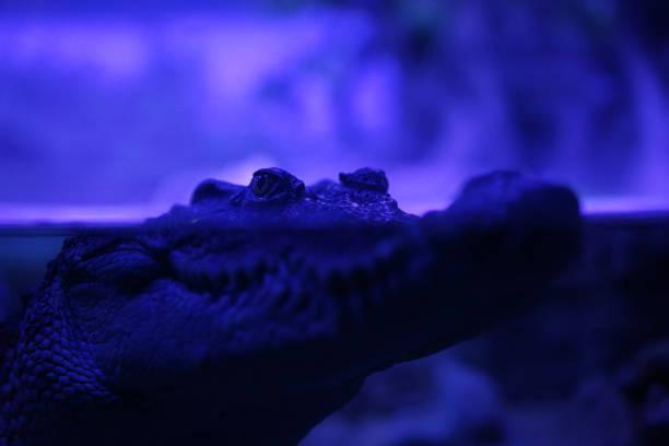 night gator