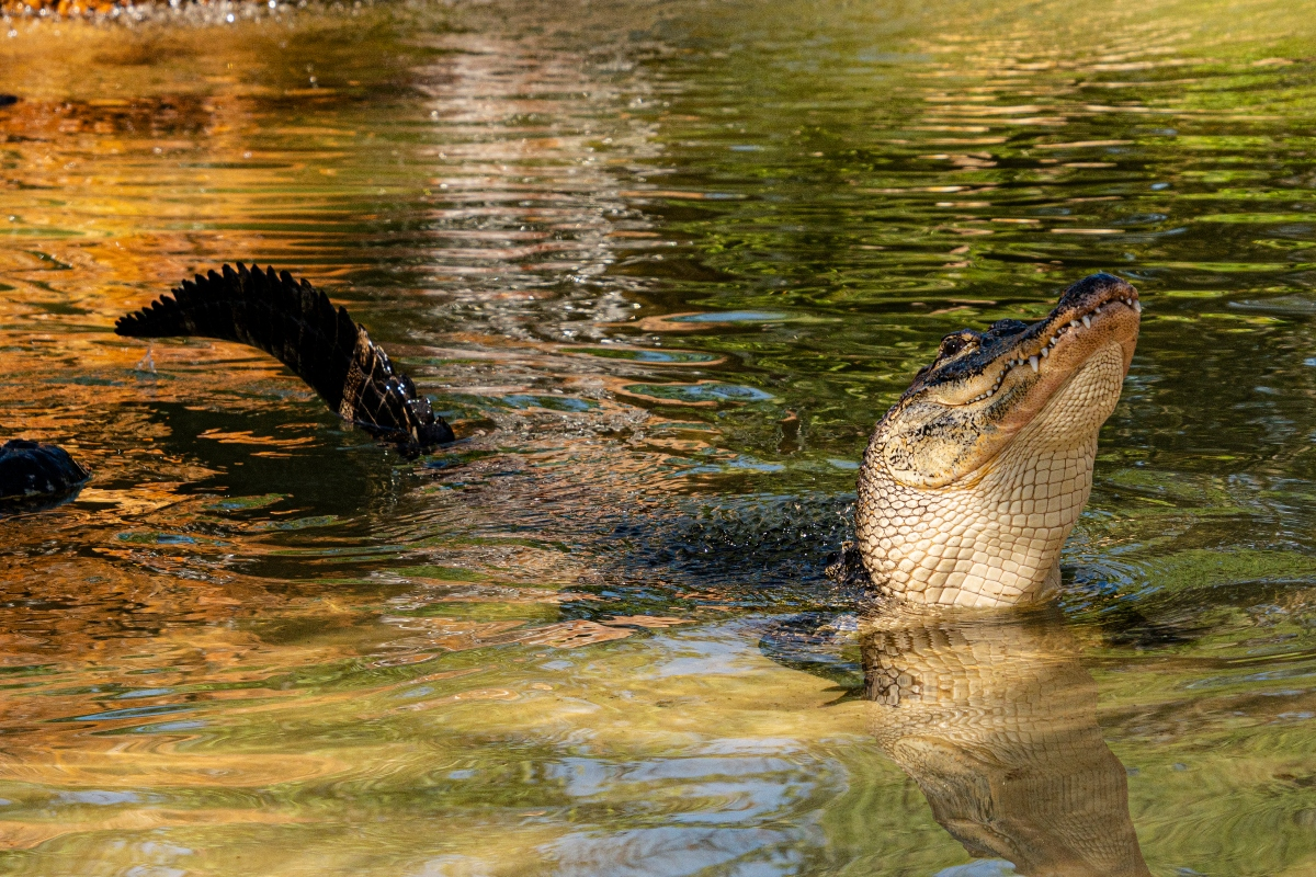 "David, ""The Lake Michigan Alligator,"" Makes Gatorland His Forever Home"