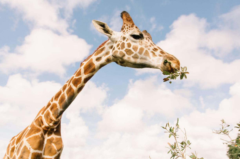 Drive-Thru Safari