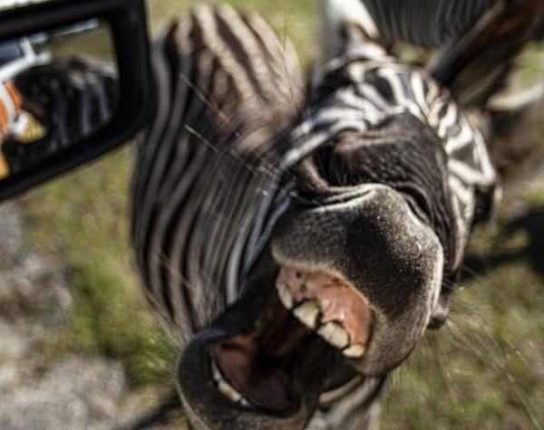 Wild Florida 1 Hour Everglades Tour + Wildlife Park & Drive-Thru Safari