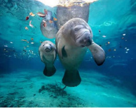 Swim with Manatees at Crystal River