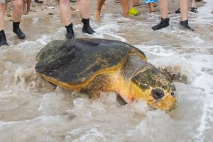 biggest turtle ever rescued