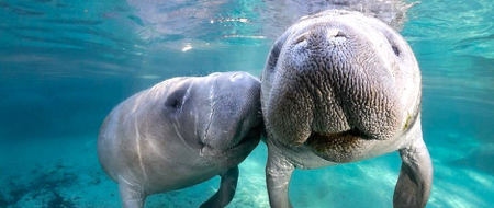 things to do in crystal river manatees